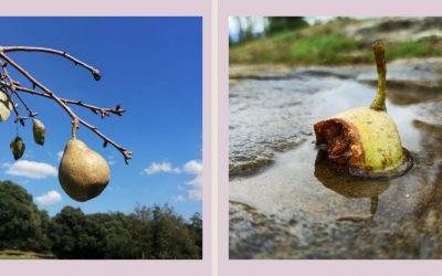 És quan el fruit està madur que cau pel seu propi pes.